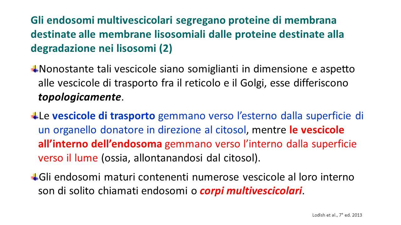 Gli endosomi multivescicolari segregano proteine di membrana destinate alle membrane lisosomiali dalle proteine destinate alla degradazione nei lisoso
