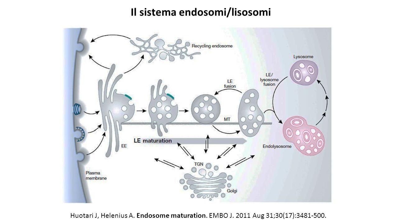 Huotari J, Helenius A. Endosome maturation. EMBO J. 2011 Aug 31;30(17):3481-500. Il sistema endosomi/lisosomi