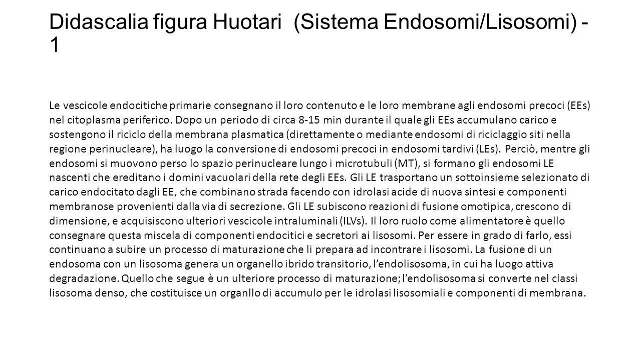 Didascalia figura Huotari (Sistema Endosomi/Lisosomi) - 1 Le vescicole endocitiche primarie consegnano il loro contenuto e le loro membrane agli endos