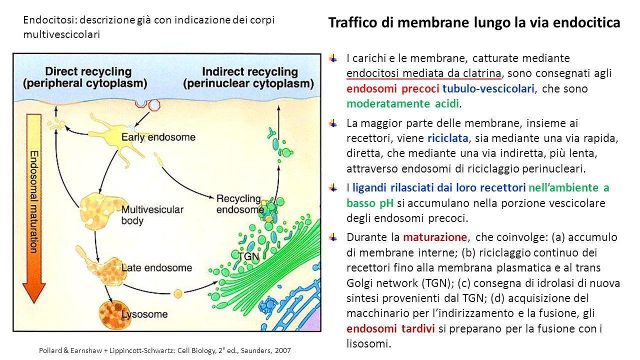 Pollard & Earnshaw + Lippincott-Schwartz: Cell Biology, 2° ed., Saunders, 2007 Traffico di membrane lungo la via endocitica I carichi e le membrane, c