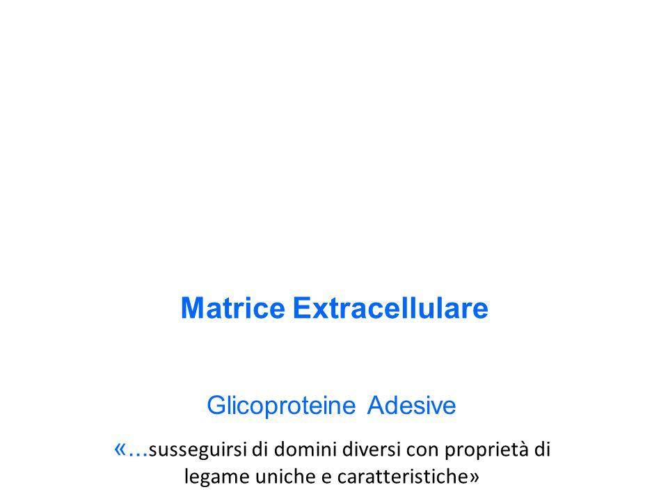 Matrice Extracellulare Glicoproteine Adesive «...