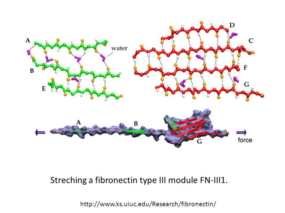 http://www.ks.uiuc.edu/Research/fibronectin/ Streching a fibronectin type III module FN-III1.