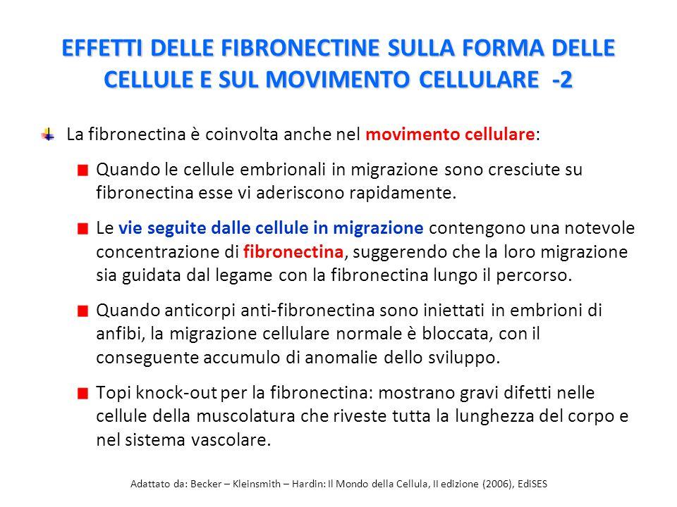 La fibronectina è coinvolta anche nel movimento cellulare: Quando le cellule embrionali in migrazione sono cresciute su fibronectina esse vi aderiscono rapidamente.