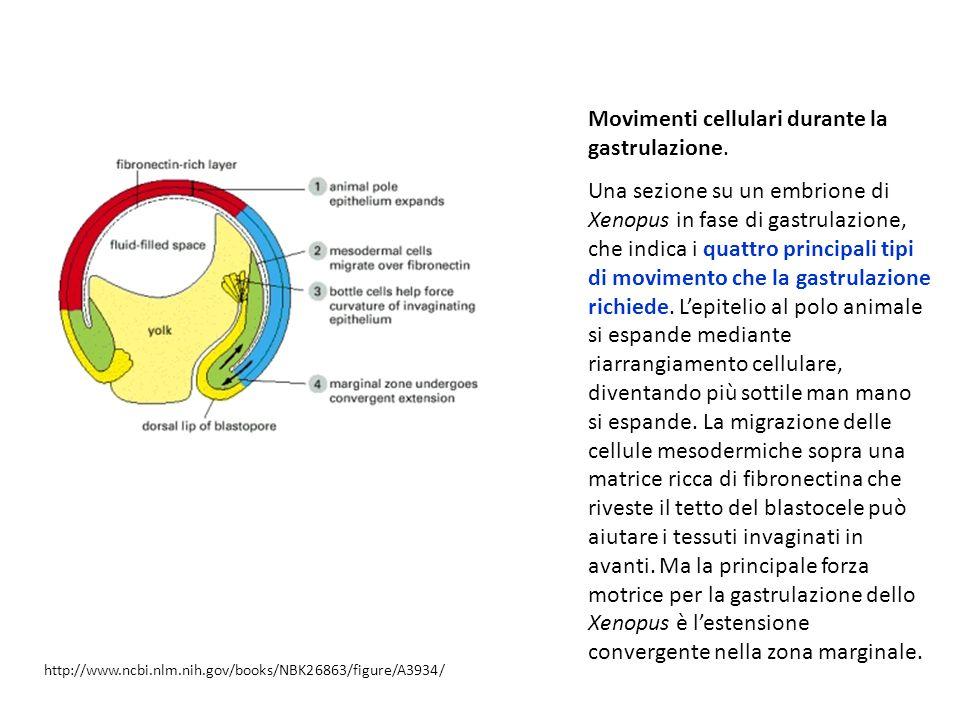 Movimenti cellulari durante la gastrulazione. Una sezione su un embrione di Xenopus in fase di gastrulazione, che indica i quattro principali tipi di