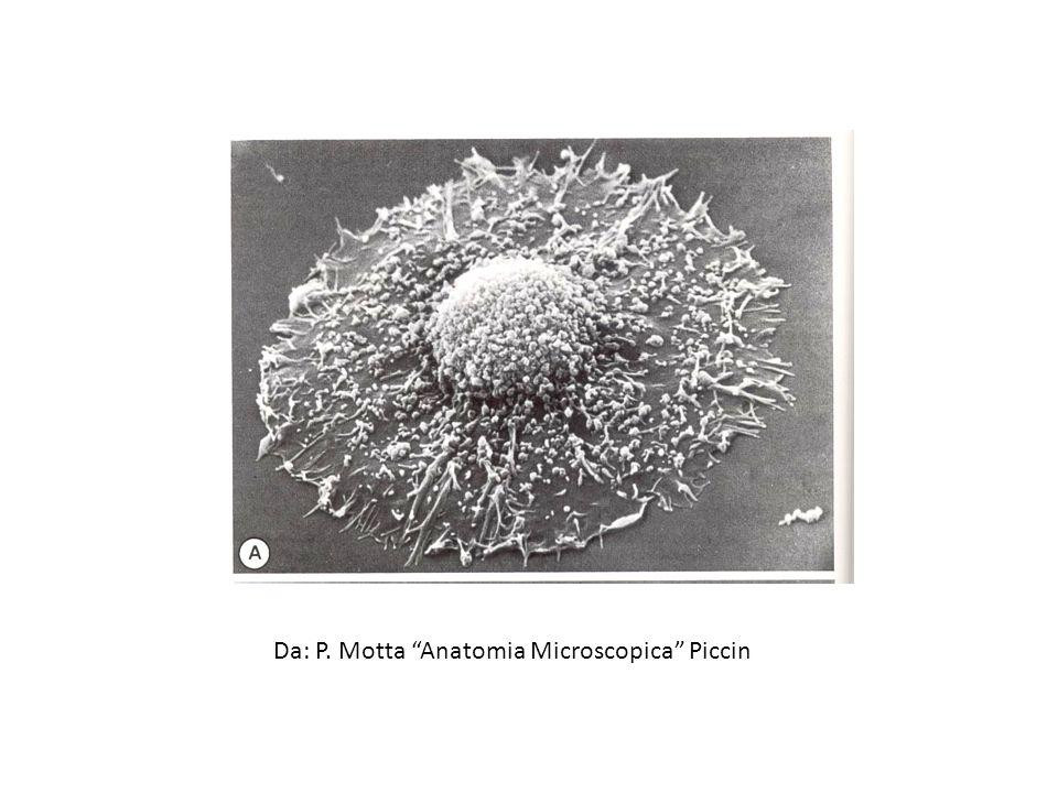 Fibronectina - 2 Glicoproteina multidominio di grandi dimensioni che si trova: tessuto connettivo superficie cellulari plasma altri fluidi corporei