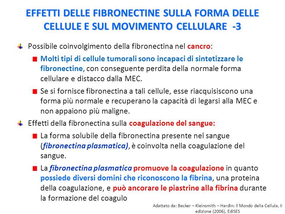 Possibile coinvolgimento della fibronectina nel cancro: Molti tipi di cellule tumorali sono incapaci di sintetizzare le fibronectine, con conseguente perdita della normale forma cellulare e distacco dalla MEC.
