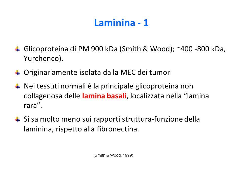 Laminina - 1 Glicoproteina di PM 900 kDa (Smith & Wood); ~400 -800 kDa, Yurchenco).