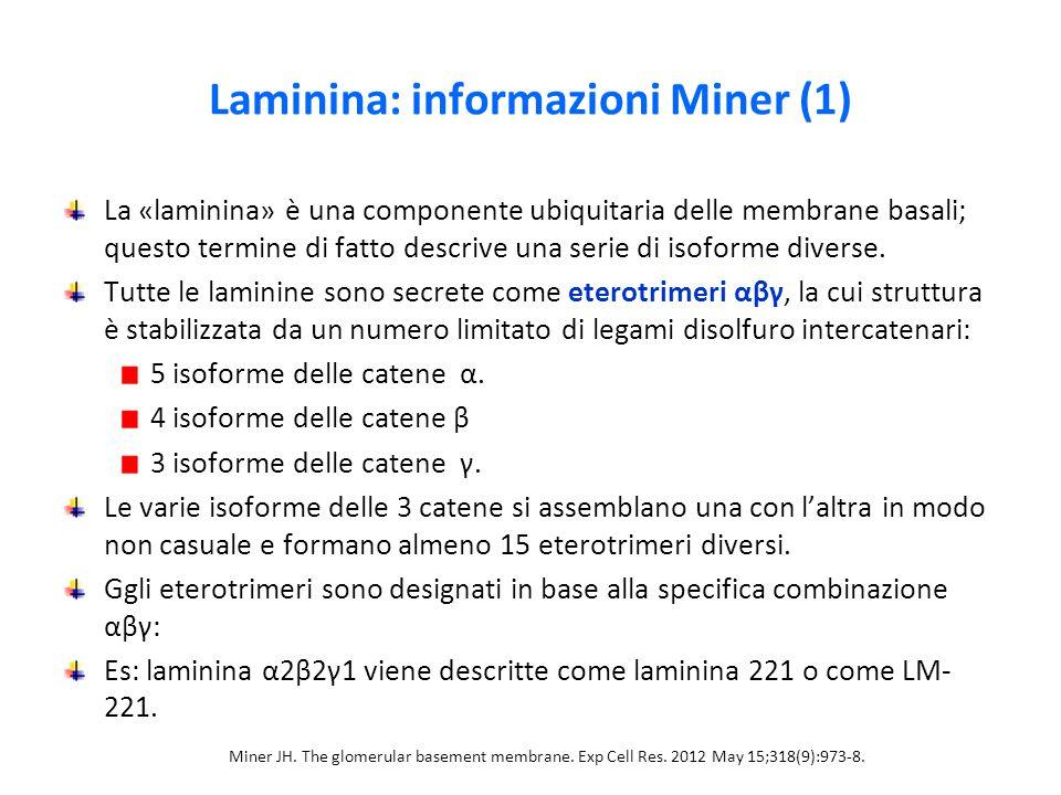 Laminina: informazioni Miner (1) La «laminina» è una componente ubiquitaria delle membrane basali; questo termine di fatto descrive una serie di isoforme diverse.