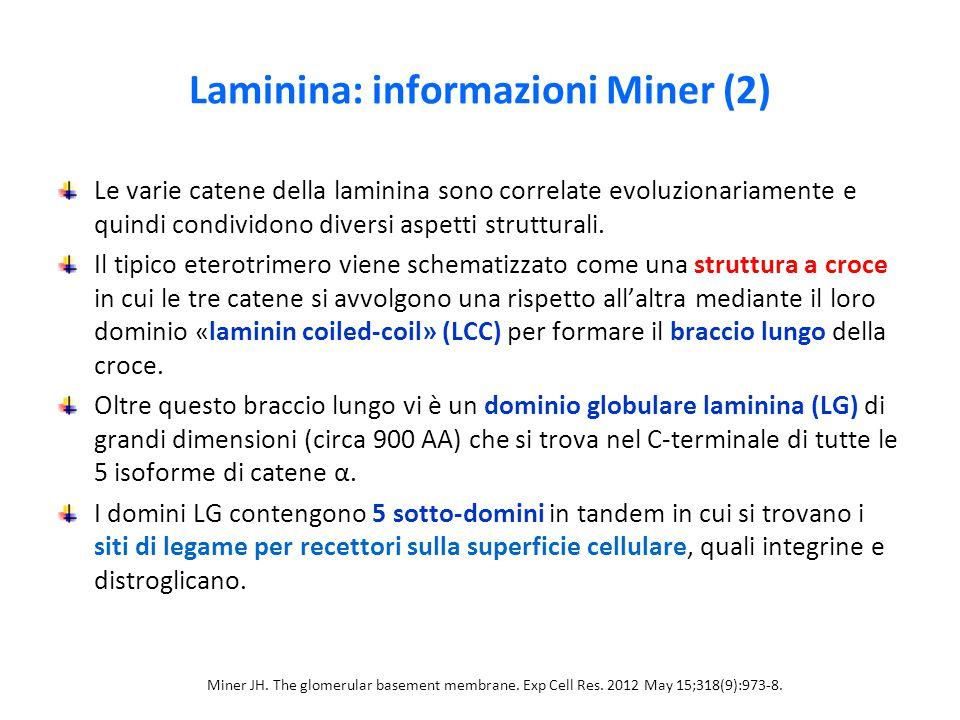 Laminina: informazioni Miner (2) Le varie catene della laminina sono correlate evoluzionariamente e quindi condividono diversi aspetti strutturali. Il