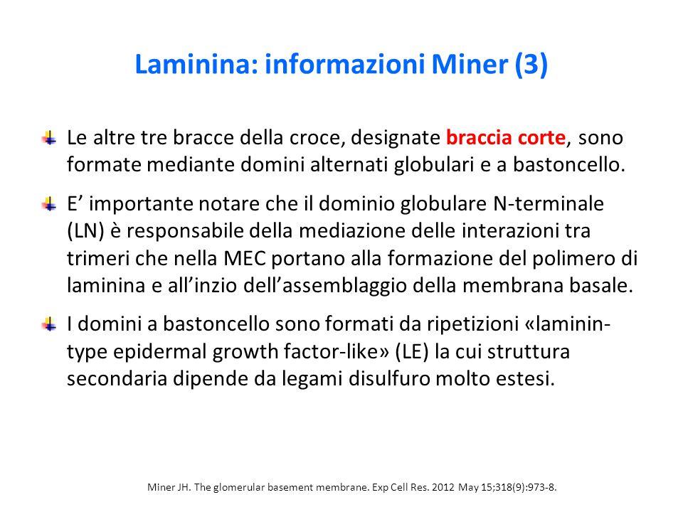 Laminina: informazioni Miner (3) Le altre tre bracce della croce, designate braccia corte, sono formate mediante domini alternati globulari e a bastoncello.