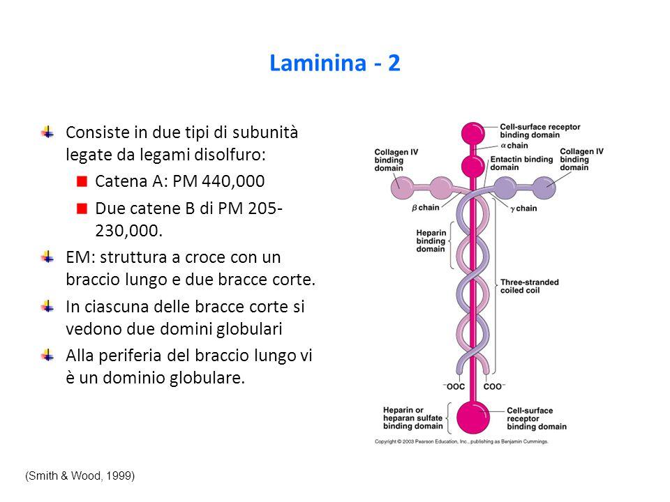 Laminina - 2 Consiste in due tipi di subunità legate da legami disolfuro: Catena A: PM 440,000 Due catene B di PM 205- 230,000.