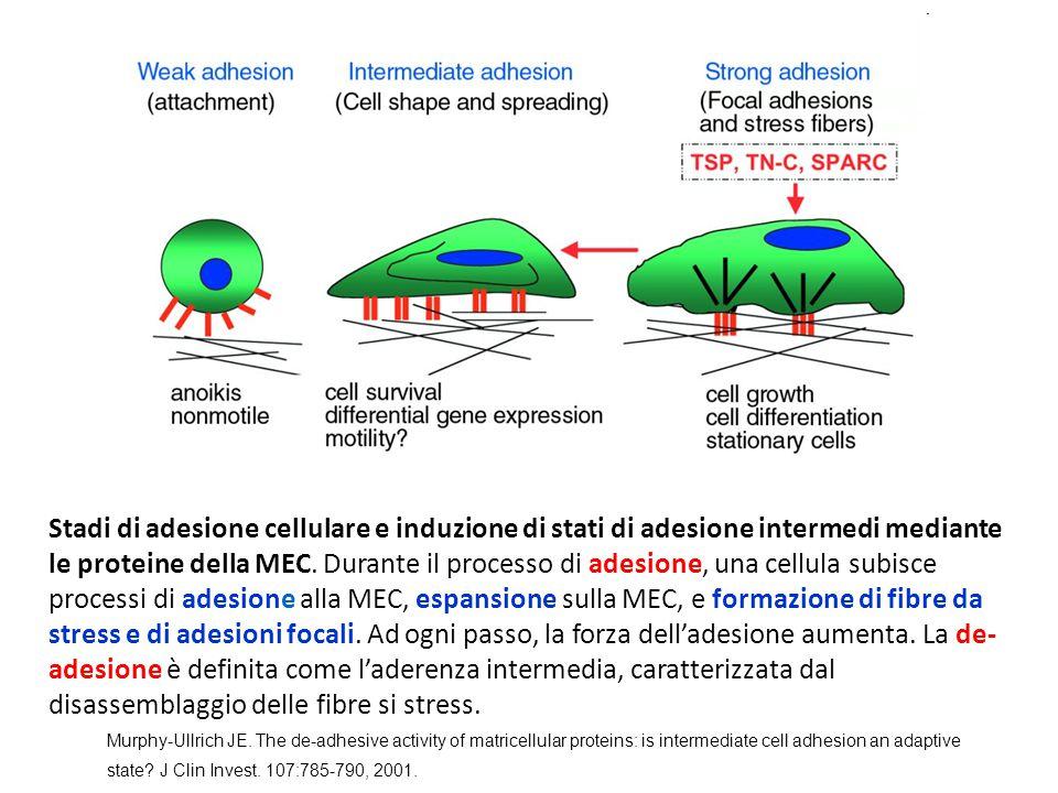 Fibronectina - 3 Interagisce con una grande diversità di macromolecole: Del citoscheletro Della matrice extracellulare Del sistema di coagulazione del sangue (circolanti) Del sistema della fibrinolisi (circolanti) Del sistema di risposta acuta all'infezione (circolanti) Recettori sulla superficie cellulare di diversi tipi di cellule: fibroblasti neuroni fagociti batteri