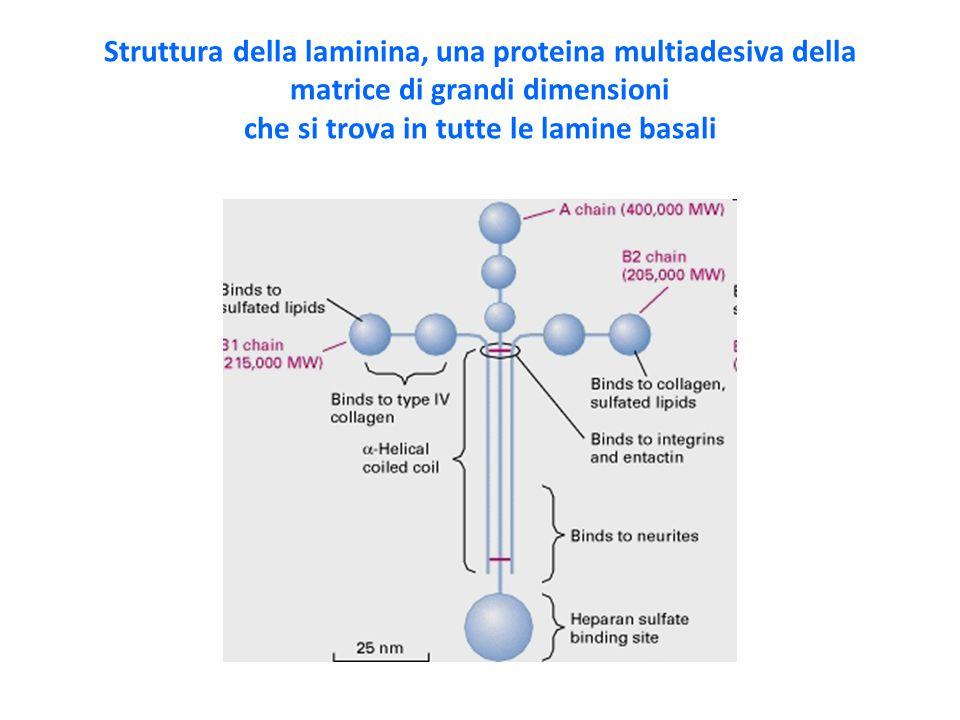 Struttura della laminina, una proteina multiadesiva della matrice di grandi dimensioni che si trova in tutte le lamine basali