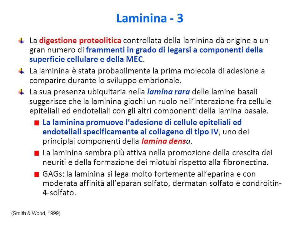 Laminina - 3 La digestione proteolitica controllata della laminina dà origine a un gran numero di frammenti in grado di legarsi a componenti della superficie cellulare e della MEC.