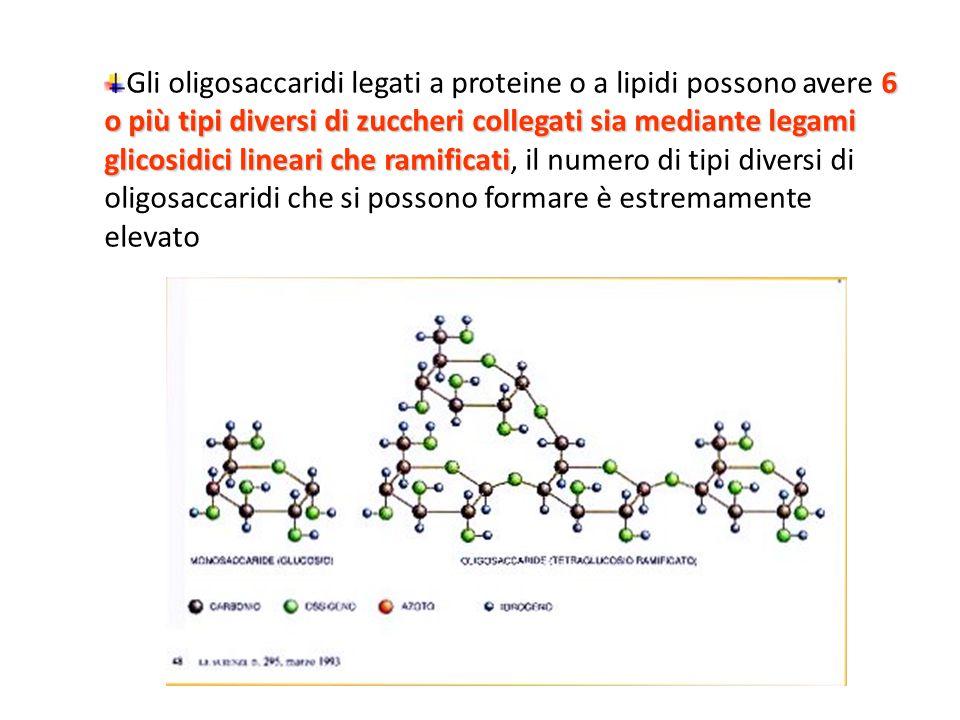 6 o più tipi diversi di zuccheri collegati sia mediante legami glicosidici lineari che ramificati Gli oligosaccaridi legati a proteine o a lipidi possono avere 6 o più tipi diversi di zuccheri collegati sia mediante legami glicosidici lineari che ramificati, il numero di tipi diversi di oligosaccaridi che si possono formare è estremamente elevato