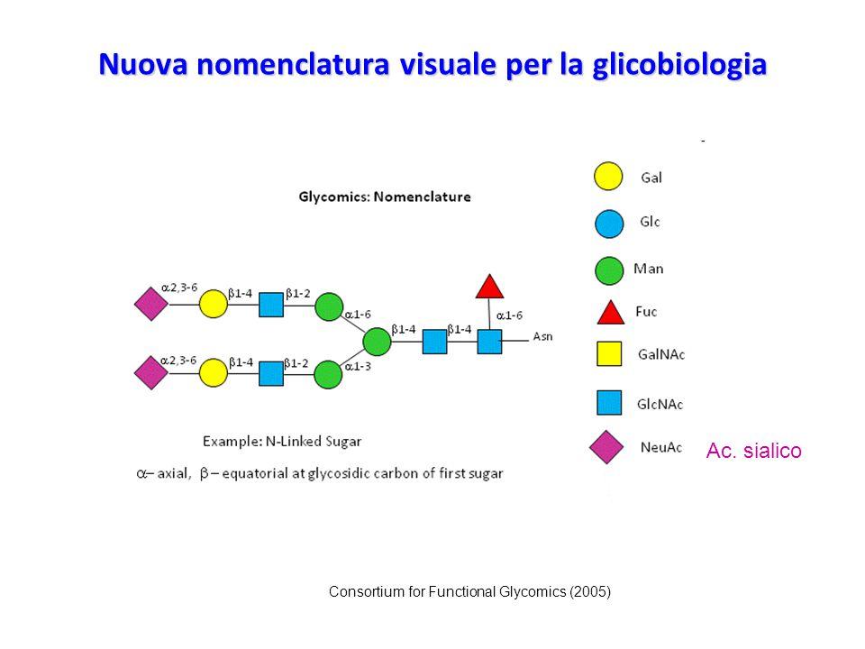 Glicoproteine Nei tessuti sono presenti due classi fondamentali di glicoproteine: quelle che contengono oligosaccaridi legati mediante legame O- glicosidico agli aminoacidi serina e treonina quelle che contengono oligosaccaridi legati mediante legame N- glicosidico all'aminoacido asparagina.