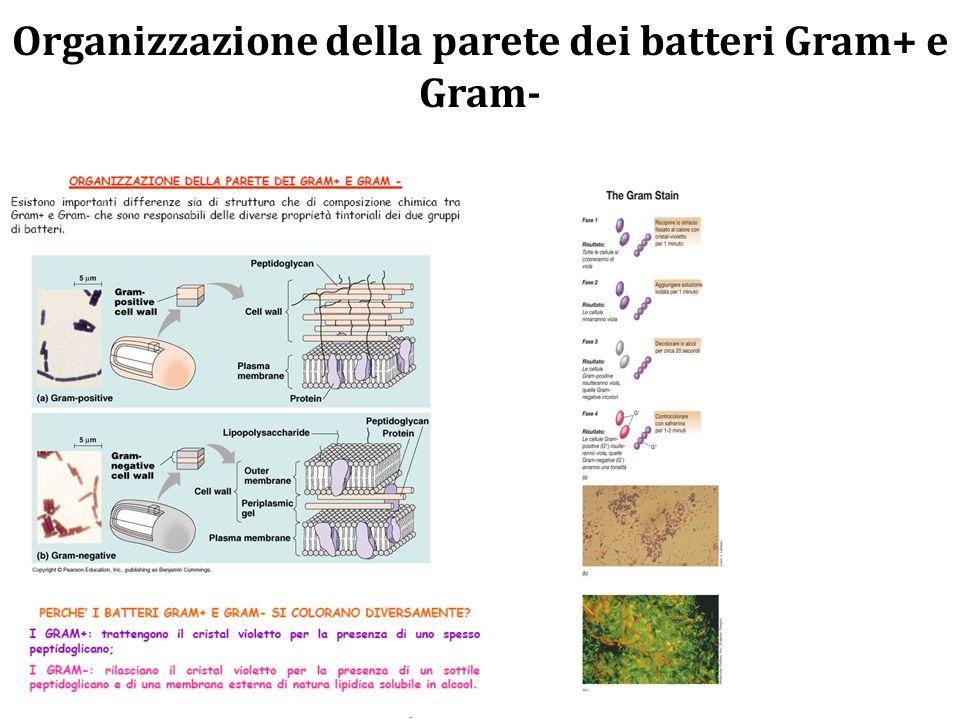 Organizzazione della parete dei batteri Gram+ e Gram-