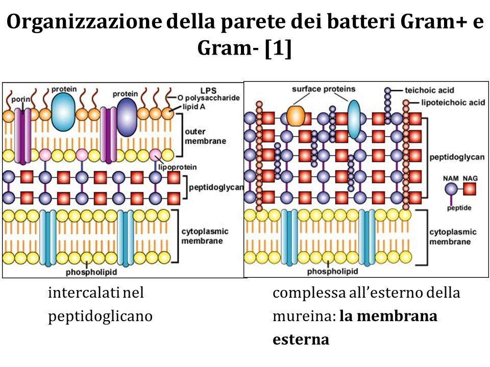 Organizzazione della parete dei batteri Gram+ e Gram- [1] GRAM+ Spesso peptidoglicano; anche 40 strati concentrici 40-80% del peso secco Altri componenti oltre al peptidoglicano: acidi teicoici, acidi teicuronici, proteine, carboidrati intercalati nel peptidoglicano GRAM – Sottile peptidoglicano; pochi strati concentrici (2- 3) 5% del peso secco pochi legami crociati Altri componenti oltre al peptidoglicano: organizzati a formare una struttura complessa all'esterno della mureina: la membrana esterna