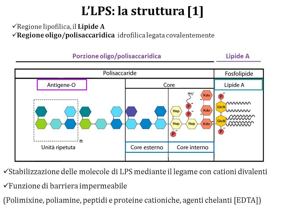 L'LPS: la struttura [1] Regione lipofilica, il Lipide A Regione oligo/polisaccaridica idrofilica legata covalentemente Porzione oligo/polisaccaridicaLipide A Stabilizzazione delle molecole di LPS mediante il legame con cationi divalenti Funzione di barriera impermeabile (Polimixine, poliamine, peptidi e proteine cationiche, agenti chelanti [EDTA])
