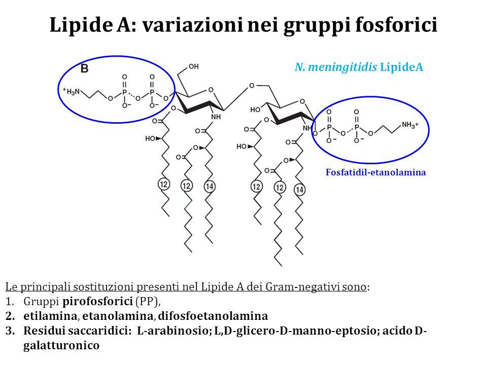 Lipide A: variazioni nei gruppi fosforici N.