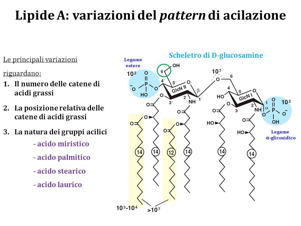 Lipide A: variazioni del pattern di acilazione Le principali variazioni riguardano: 1.Il numero delle catene di acidi grassi 2.La posizione relativa delle catene di acidi grassi 3.La natura dei gruppi acilici - acido miristico - acido palmitico - acido stearico - acido laurico Legame  -glicosidico Legame estere Scheletro di D-glucosamine