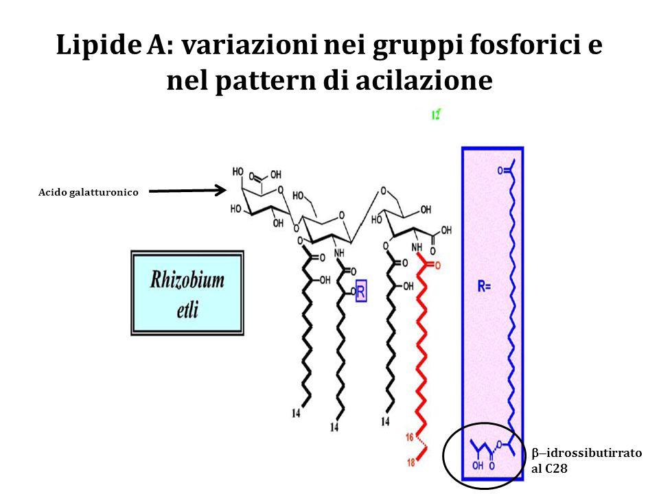 Lipide A: variazioni nei gruppi fosforici e nel pattern di acilazione Acido galatturonico  idrossibutirrato al C28