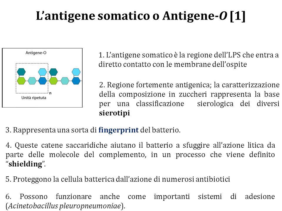 L'antigene somatico o Antigene-O [1] 1.
