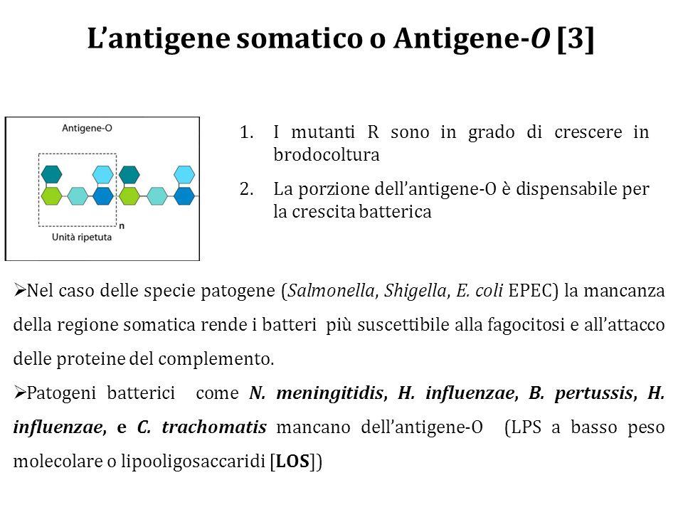L'antigene somatico o Antigene-O [3] 1.I mutanti R sono in grado di crescere in brodocoltura 2.La porzione dell'antigene-O è dispensabile per la crescita batterica  Nel caso delle specie patogene (Salmonella, Shigella, E.