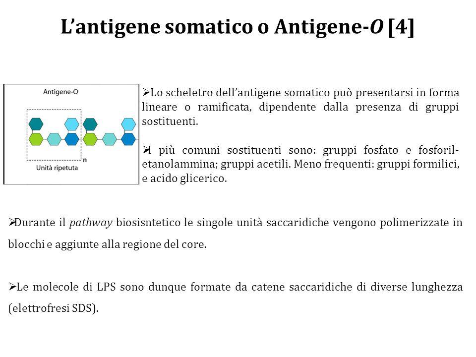 L'antigene somatico o Antigene-O [4]  Lo scheletro dell'antigene somatico può presentarsi in forma lineare o ramificata, dipendente dalla presenza di gruppi sostituenti.