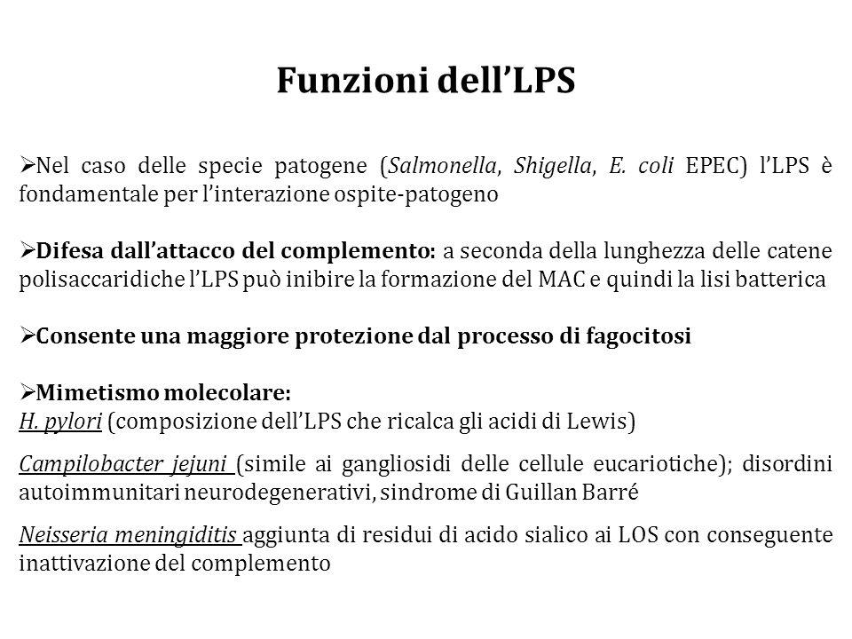 Funzioni dell'LPS  Nel caso delle specie patogene (Salmonella, Shigella, E.