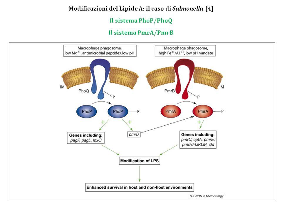 Modificazioni del Lipide A: il caso di Salmonella [4] Il sistema PhoP/PhoQ Il sistema PmrA/PmrB