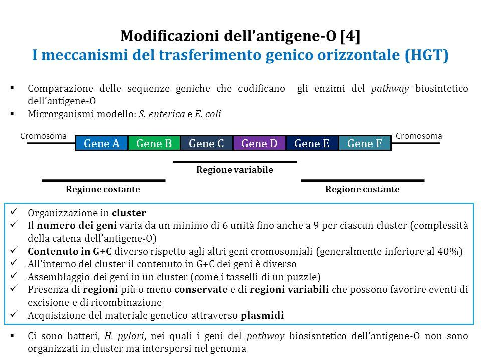 Modificazioni dell'antigene-O [4] I meccanismi del trasferimento genico orizzontale (HGT)  Comparazione delle sequenze geniche che codificano gli enzimi del pathway biosintetico dell'antigene-O  Microrganismi modello: S.