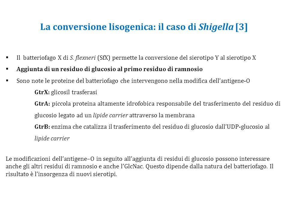La conversione lisogenica: il caso di Shigella [3]  Il batteriofago X di S.