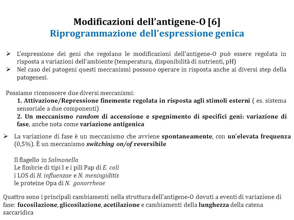 Modificazioni dell'antigene-O [6] Riprogrammazione dell'espressione genica  L'espressione dei geni che regolano le modificazioni dell'antigene-O può essere regolata in risposta a variazioni dell'ambiente (temperatura, disponibilità di nutrienti, pH)  Nel caso dei patogeni questi meccanismi possono operare in risposta anche ai diversi step della patogenesi.
