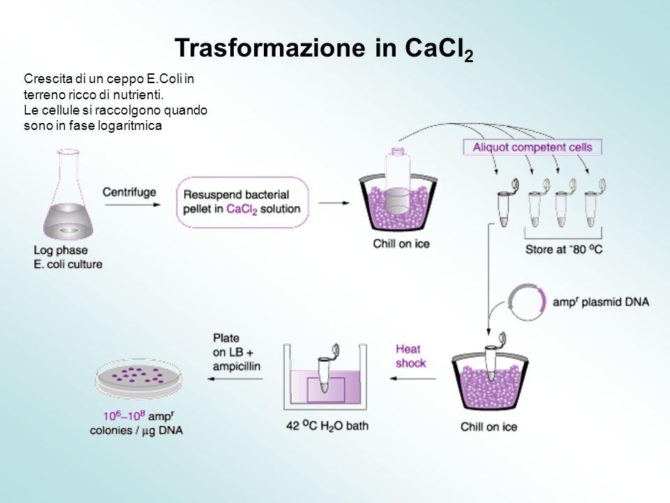 Trasformazione in CaCl 2 Crescita di un ceppo E.Coli in terreno ricco di nutrienti. Le cellule si raccolgono quando sono in fase logaritmica