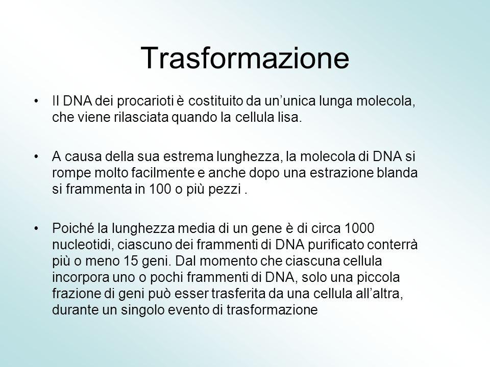 Trasformazione Il DNA dei procarioti è costituito da un'unica lunga molecola, che viene rilasciata quando la cellula lisa. A causa della sua estrema l