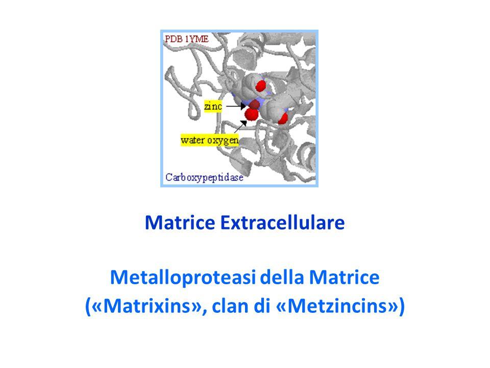 TIMPs, altre informazioni (3) Gli zimogeni pro-MMP2 e pro-MMP9 delle MMPs sono forme latenti secrete delle MMPs in cui un propeptide scindibile è inserito nella tasca catlitica; questo propeptide deve essere rimosso protoliticamente per permettere l'attività enzimatica.