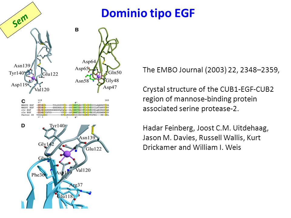 Dominio tipo EGF The EMBO Journal (2003) 22, 2348–2359, Crystal structure of the CUB1-EGF-CUB2 region of mannose-binding protein associated serine pro