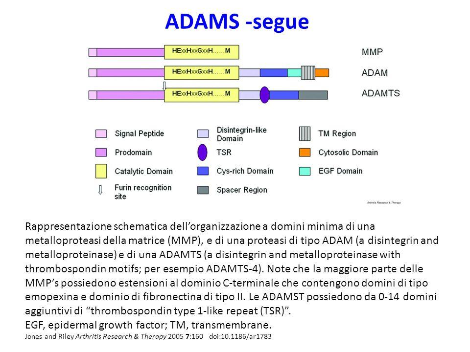 ADAMS -segue Rappresentazione schematica dell'organizzazione a domini minima di una metalloproteasi della matrice (MMP), e di una proteasi di tipo ADAM (a disintegrin and metalloproteinase) e di una ADAMTS (a disintegrin and metalloproteinase with thrombospondin motifs; per esempio ADAMTS-4).