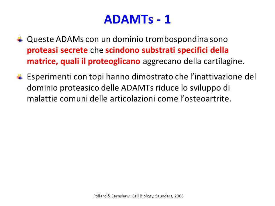ADAMTs - 1 Queste ADAMs con un dominio trombospondina sono proteasi secrete che scindono substrati specifici della matrice, quali il proteoglicano aggrecano della cartilagine.