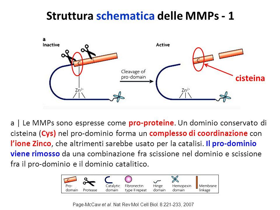 Struttura schematica delle MMPs - 1 a | Le MMPs sono espresse come pro-proteine.