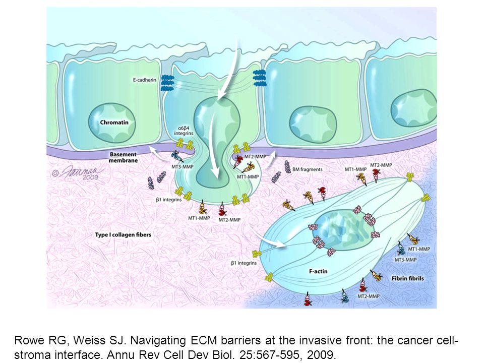 Rowe RG, Weiss SJ. Navigating ECM barriers at the invasive front: the cancer cell- stroma interface. Annu Rev Cell Dev Biol. 25:567-595, 2009.
