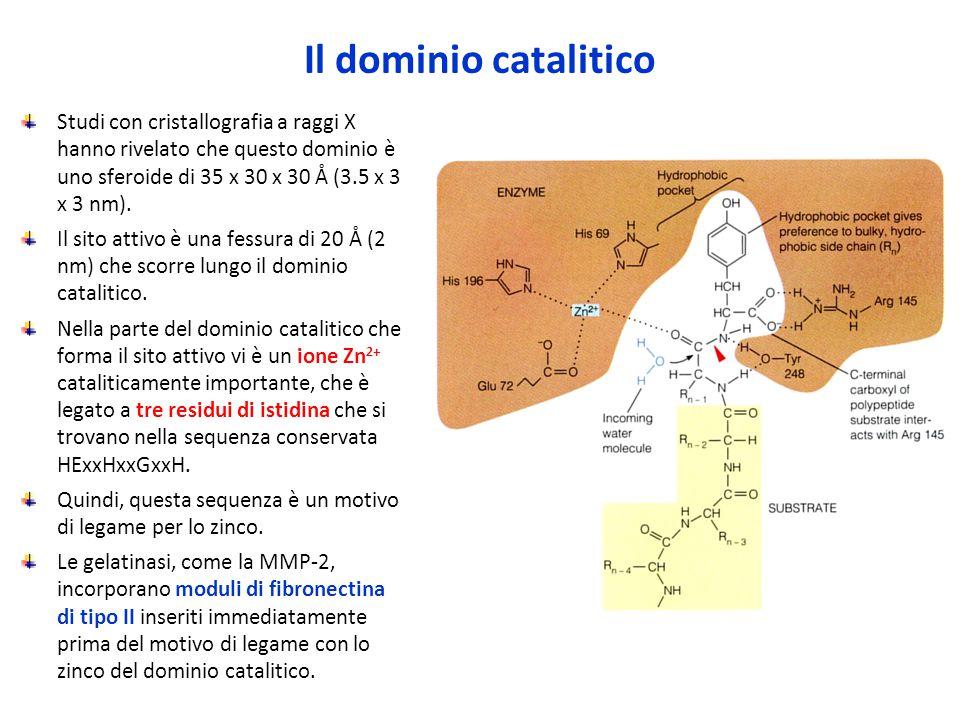 Il dominio catalitico Studi con cristallografia a raggi X hanno rivelato che questo dominio è uno sferoide di 35 x 30 x 30 Å (3.5 x 3 x 3 nm).