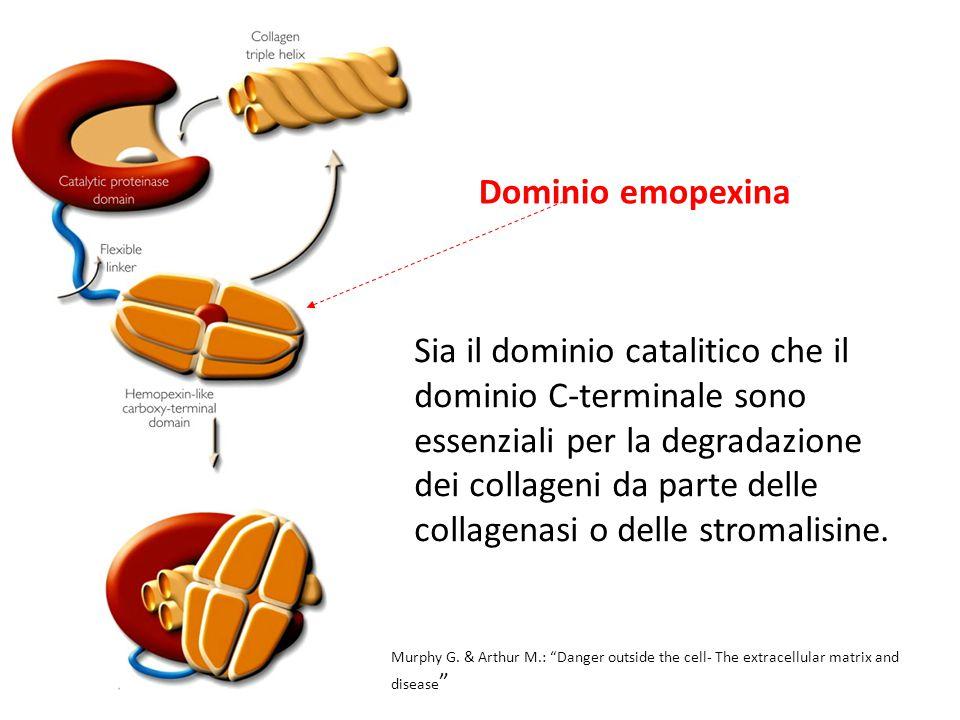 Sia il dominio catalitico che il dominio C-terminale sono essenziali per la degradazione dei collageni da parte delle collagenasi o delle stromalisine.
