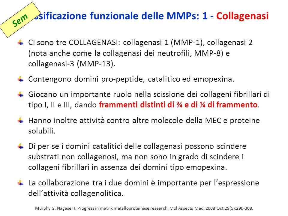 Classificazione funzionale delle MMPs: 1 - Collagenasi Ci sono tre COLLAGENASI: collagenasi 1 (MMP-1), collagenasi 2 (nota anche come la collagenasi dei neutrofili, MMP-8) e collagenasi-3 (MMP-13).
