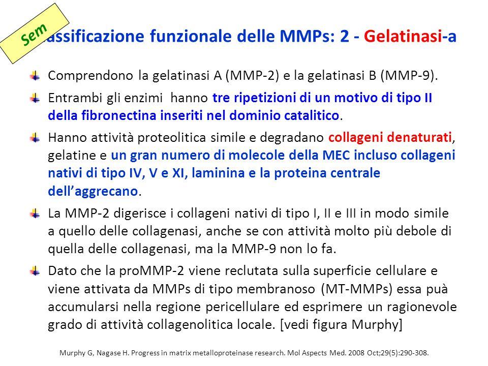 Classificazione funzionale delle MMPs: 2 - Gelatinasi-a Comprendono la gelatinasi A (MMP-2) e la gelatinasi B (MMP-9).