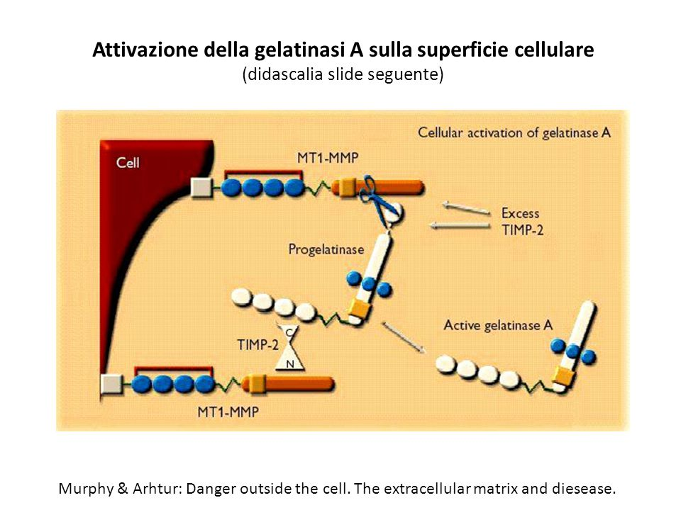 Murphy & Arhtur: Danger outside the cell. The extracellular matrix and diesease. Attivazione della gelatinasi A sulla superficie cellulare (didascalia