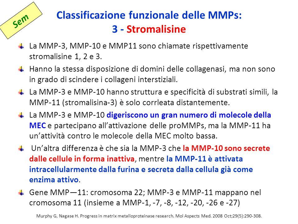 Classificazione funzionale delle MMPs: 3 - Stromalisine La MMP-3, MMP-10 e MMP11 sono chiamate rispettivamente stromalisine 1, 2 e 3.