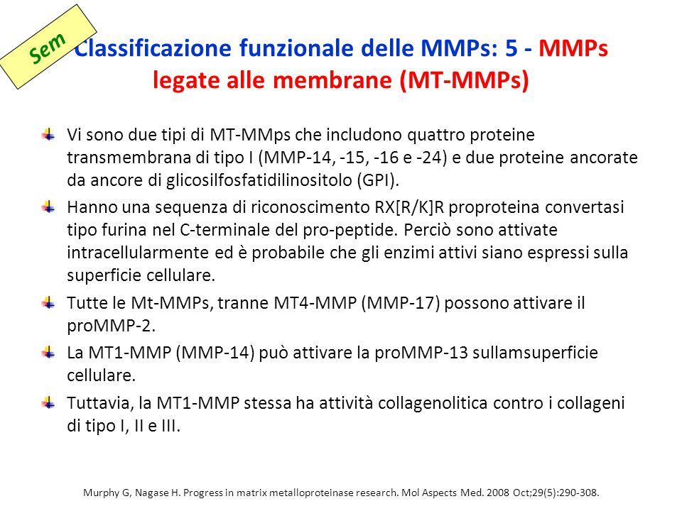 Classificazione funzionale delle MMPs: 5 - MMPs legate alle membrane (MT-MMPs) Vi sono due tipi di MT-MMps che includono quattro proteine transmembrana di tipo I (MMP-14, -15, -16 e -24) e due proteine ancorate da ancore di glicosilfosfatidilinositolo (GPI).