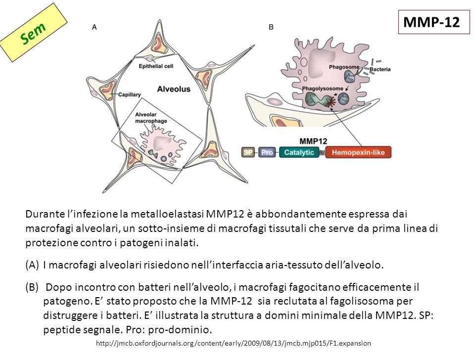 http://jmcb.oxfordjournals.org/content/early/2009/08/13/jmcb.mjp015/F1.expansion Durante l'infezione la metalloelastasi MMP12 è abbondantemente espressa dai macrofagi alveolari, un sotto-insieme di macrofagi tissutali che serve da prima linea di protezione contro i patogeni inalati.